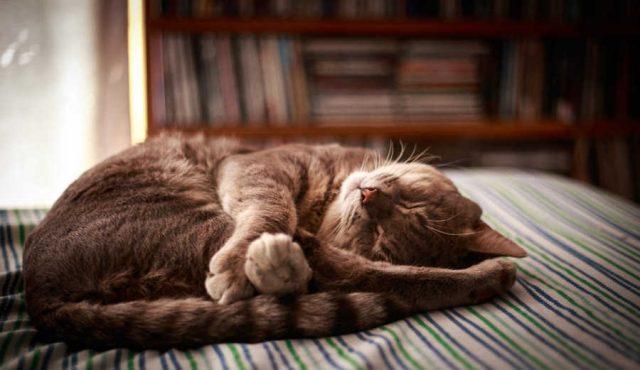 気象病で頭痛 寝る猫