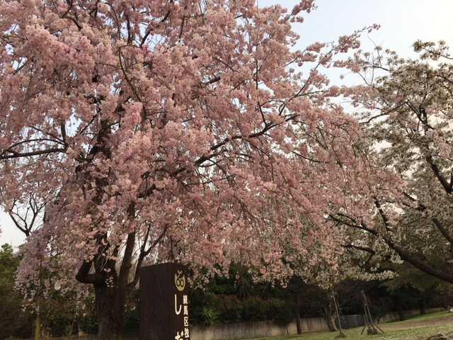 大泉中央公園の桜