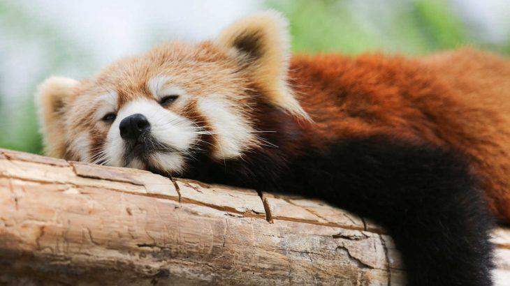 寝たまんまヨガで快眠するレッサーパンダ