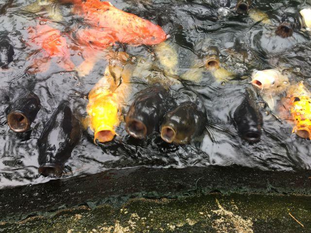 愛宕神社の鯉